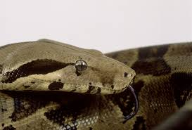 Coastal Carpet Python Facts by How To Tell If A Snake Is Shedding Shedding Snakes