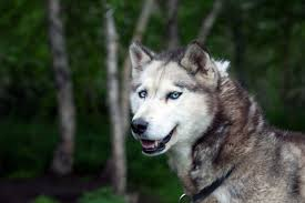 Siberian Cat Hair Shedding by Siberian Husky Dog Breed Information