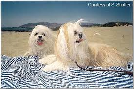 My Lhasa Apso Is Shedding Hair by Lhasa Apso Information Pictures Reviews And Q U0026a Greatdogsite Com
