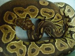 Ball Python Bedding by Ball Python Care Chicago Exotics Animal Hospital