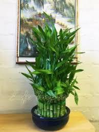 bambus zimmerpflanze bestseller top 5