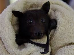 Because It s Cute A hungry baby bat eating a banana in bed