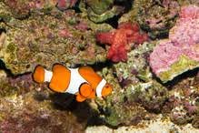 aquarium poisson prix poisson clown les types et les prix ooreka