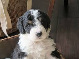 Do Brittany Spaniels Shed Hair by Bernedoodle Dog Breed Information U0026 Pictures
