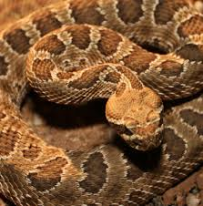 Venomous Creatures In New Mexico :: Nmpoisoncenter.unm.edu | The ... Diamondback Water Snake Indiana 1 Yard Long Youtube Snake Trap Cahaba Ewww Snakes 6 Tips To Keep Them Away From Your Home How A 14 Steps With Pictures Wikihow In The Duck House 9 Tips Help Repel Snakes Fresh Eggs Best Way Ive Found Yet Deal Problems Backyard Removal Wildlife Services Of South Florida Catch Deadly Safely Out Louisiana Department And Fisheries