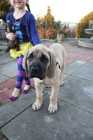 Do Bullmastiffs Shed A Lot by 48 Best Dogs Images On Pinterest Animals Puppies And Dogs