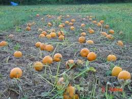 Nearby Pumpkin Patches by Owsberry Farm Pumpkin Patch In Jeffersonton Va Parent Reviews