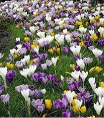 saffron crocus 10 bulbs spice fall blooming