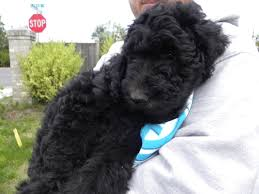 Do Miniature Aussiedoodle Shed by F1b Goldendoodles U2013 Summer 2011 Aussiedoodle And Labradoodle