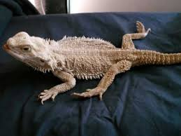 Bearded Dragon Heat Lamp Times by How To Prevent Metabolic Bone Disease In Bearded Dragons