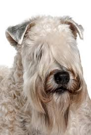 Do Wheaten Terriers Shed by Soft Coated Wheaten Terrier Dog Breed Information Noah U0027s Dogs