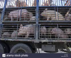 A Truck Transport Live Pig On A Highway On Outskirt Of Shanghai ... Toms Bbq Pig Rig Phoenix Food Trucks Roaming Hunger Our Second Food Truck Is Complete The Red Truffle A High Farmer John Pig Transport From Colorado To California 3104 Benjamin Radigan Elegant Truck Transport Semi Trailer Suppliers And Out Pigouttruckiowa Twitter Hauling Thousands Of Pigs Overturns On I40 Blocking Lanes Dog 96000 Prestige Custom Manufacturer Proper Smokehouse Inspired By Owners Vacation Pig Food Truck Its Seattle I Must Go Jolly Baltimore Sun