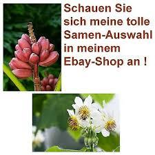 zimmerlinde und rosa zwergbanane zwei schöne pflanzen für ihr wohnzimmer