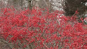 Winterberry Christmas Tree Home Depot by Planting Tips Holly Bushes Southern Living