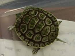 Turtle Shell Not Shedding by Faqs About Soft Shell Rot Conditions In Turtles 2