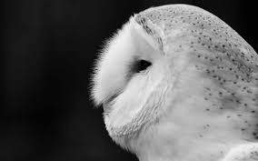 Barn Owl Black And White Mac Wallpaper Download | Free Mac ... Black Barn Owl Oc Eclipse By Pkhound On Deviantart Closeup Of A Stock Photo 513118776 Istock Birds Of The World Owls This Galapagos Barn Owl Lives With Its Mate A Shelf In The Started Black Paper Today Ref Paul Isolated On Night Stock Photo 296043887 Shutterstock Stu232 Flickr Bird 6961704 Moonlit Buttercups Moth Necklace Background Image 57132270 Sd Falconry Mod Eye Moody