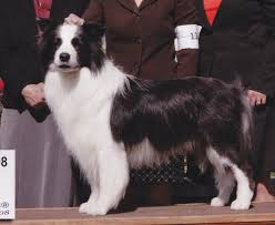 Do All Dogs Shed Their Fur by Grooming Fluffy Dogs How To Care For The Double Coated Dog The
