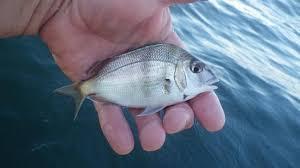 Speed Bump Ocean Fluke Fishing Report