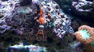 Decorator Crab Tank Mates by 40 Gallon Breeder Reef Tank Youtube