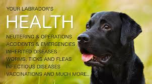 Excessive Hair Shedding In Dogs by Labrador Health