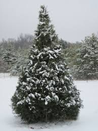 Kinds Of Christmas Trees by May Lan Farms Home Page