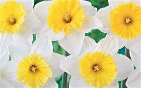 daffodils and tulips the best of the bulbs telegraph