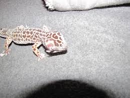 Do Baby Leopard Geckos Shed by Me Leopard Gecko Has A Large Bump Behind Her Right Eye What Is