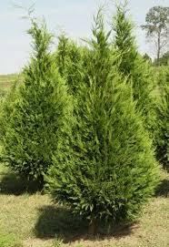 Leyland Cypress Tree In Christmas Field