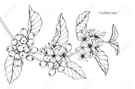 Coffee Tree Drawing And Sketch With Black White Line Art Stock Vector