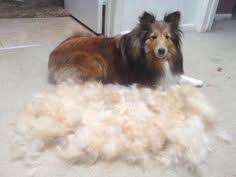 10 things only a shetland sheepdog owner would understand