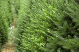 Types Christmas Trees Most Fragrant by Identifying Ontario U0027s Christmas Trees