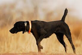 Chesapeake Bay Retriever Shed Hunting by The Wesslpointer