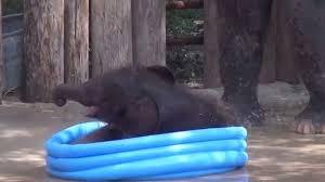 Viral Video Baby Elephant Splashes In Kiddie Pool