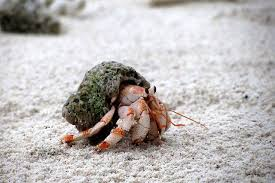Do Hermit Crabs Shed Their Legs by What U0027s Wrong With Buying Hermit Crabs Photos Peta Kids