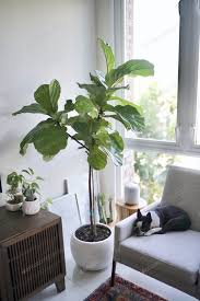 geige blatt feigenbaum und boston terrier foto twenty20photos auf envato elements