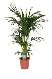 kentia palme 140 160 cm howea forsterian