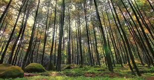 Hutan Pinus Imogiri Instagenic Di Bantul Yogyakarta