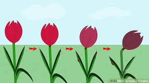 how to care for tulips 15 steps with pictures wikihow