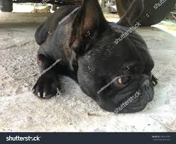 French Bulldog Squat Down Calmly Under Stock Photo 709741708 ... Bulldog Truck Sales 5055 Hammond Industrial Dr Cumming Ga 30041 Used 2009 Intertional Prostar Sleeper For Sale In 2371 Posts Facebook Mack Trucks Wikipedia New 2018 Mack Mru613 Cab Chassis For Sale 515003 Used 2010 Ford F150 Platinum 4wd Puyallup Wa Near Graham Diesel Vehicles In Car And Kme 103 Tuff Fire To Northbridge Fd Truckpapercom 2013 Freightliner Scadia 113 For 2012 Xlt