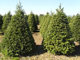 Balsam Christmas Trees by Hicks Christmas Tree U0027s Christmas Trees Archives Hicks Christmas