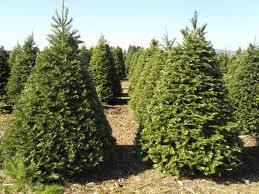 Nordmann Fir Christmas Trees Wholesale by Hicks Christmas Tree U0027s Hick U0027s Christmas Trees Olympia Wa