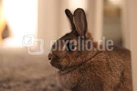 kostenloses foto kaninchen im wohnzimmer pixelio de
