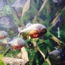 piranhas photo de aquarium tropical de la porte doree