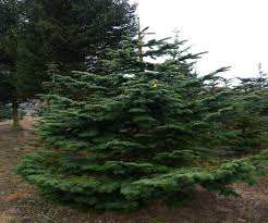 Fraser Christmas Tree Care by Fraser Fir Christmas Tree Uk Best Images Collections Hd For