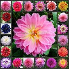 best dahlia multi colored dahlia seeds bonsai flower plant seeds