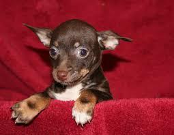 Stop Rat Terrier Shedding by B U0026 C Kennels 2012