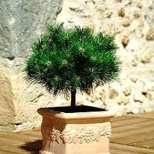 le pin nain ami des petits jardins terrasses et balcons conseils