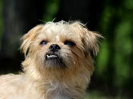 No Shed Small Dogs by Free Photo Brussels Griffon Dog Small Dog Free Image On