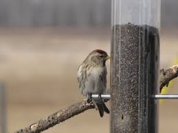 Feeding Birds In The Winter – Prairie Birder Backyard Bird Watching House Finch Nest 5 Weeks Complete Feeding Finches Graycrowned Rosyfinch Audubon Field Guide Free Images Nature Wilderness Branch Seed Animal Summer At Feeder Stock Photo Image 82153967 How To Offer Nyjer Birds Birding Two Great Books For Those Who Enjoy Pet Upside Down Wild Tube Essentials Triple Supoceras Ornithology Finch Breeding Attract Goldfinches Your Dgarden Sfv Idenfication San Fernando Valley Society
