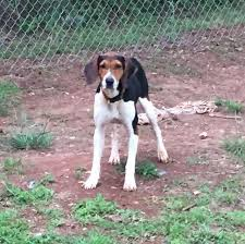 Do Treeing Walker Coonhounds Shed by Do Treeing Walker Coonhounds Shed 28 Images Treeing Walker